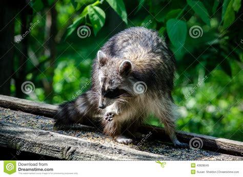raccoon eating bird seed stock image image of birdseed