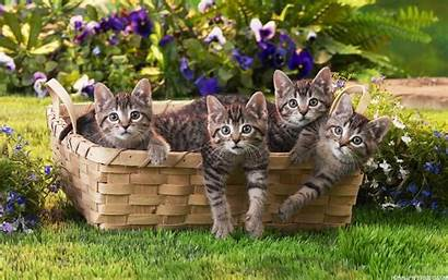 Wallpapers Cats Basket Cat Kittens Backgrounds Animals