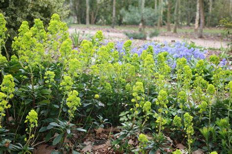 Kitchen Cottage Ideas - buy wood spurge euphorbia amygdaloides var 39 robbiae 39 delivery by waitrose garden in