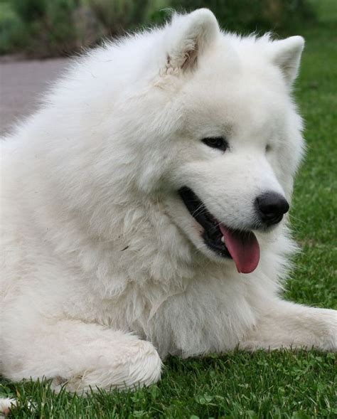 189 Best Samoyed Images On Pinterest Dog Photos Puppy