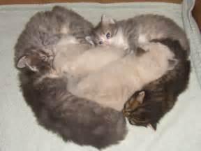siberian cats michigan siberian cats kittens made in michigan hypo