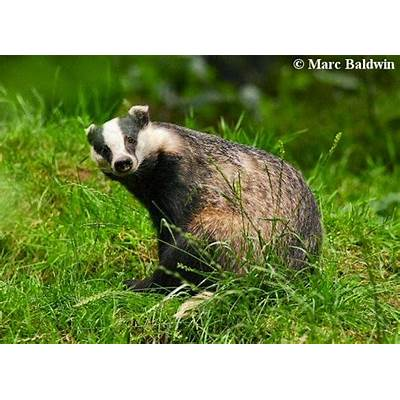 Animals World: wildlife animals of european badgers pictures