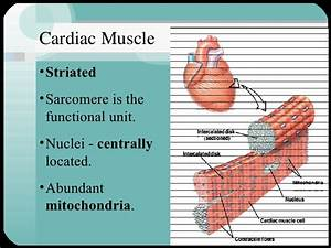 The gallery for --> Cardiac Muscle Slide