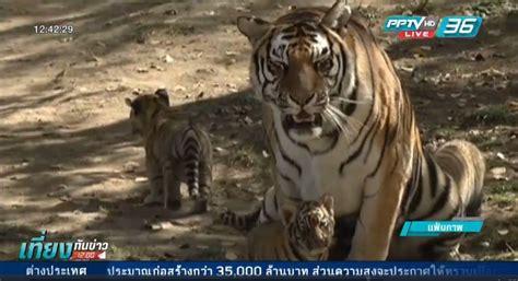 ประชากรเสือป่าเพิ่มขึ้นเป็นครั้งแรกในรอบกว่า 100 ปี : PPTVHD36