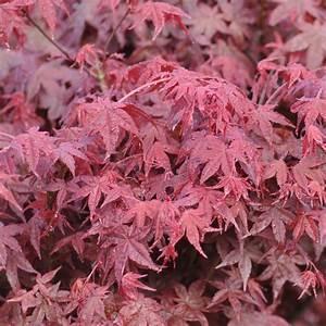 Erable Du Japon Entretien : erable du japon deshojo arbustes et plantes grimpantes ~ Nature-et-papiers.com Idées de Décoration