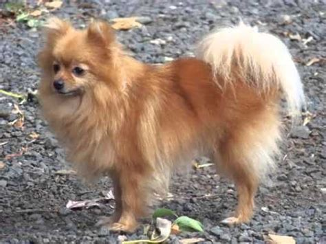 set  pomeranian dog breed picture collection