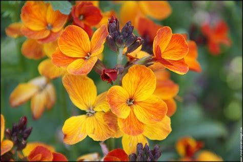 cheiri erysimum cheiranthus fleur fleurs wallflower ecran fond clove odorante eng flower iris depuis enregistree