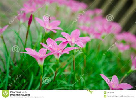 flowering grasses with pink flowers pink grass flower stock photo image 59254922
