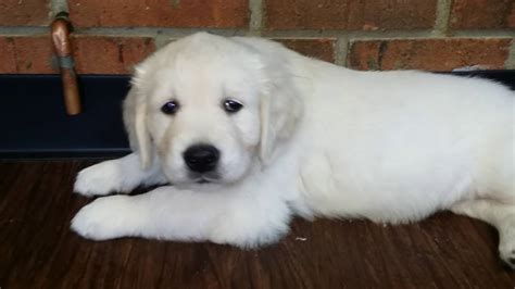 english cream golden retriever puppy goldenacresdogscom