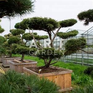 Arbre En Nuage : acheter arbres nuages juniperus media hetza prix grossistes ~ Melissatoandfro.com Idées de Décoration