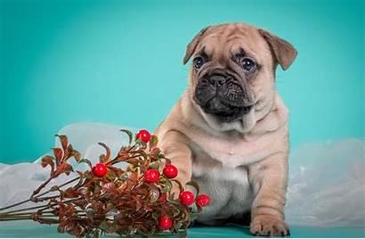 Wallpapers Bulldog French Desktop Puppies Dog Puppy