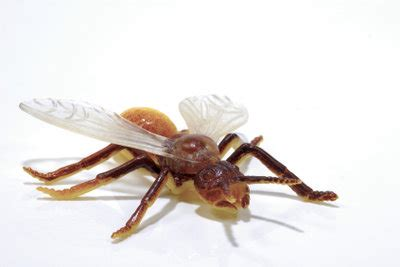Was Tun Gegen Fliegende Ameisen?