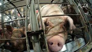 Student Makes Last-Ditch Effort to Save Pigs Destined for ...