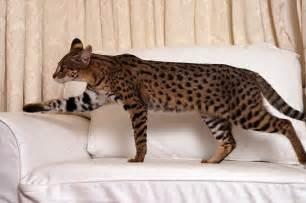savanna cat follow the piper cats