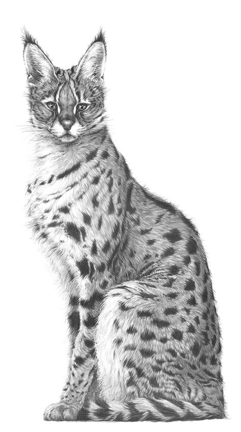wild cat drawings  gary hodges