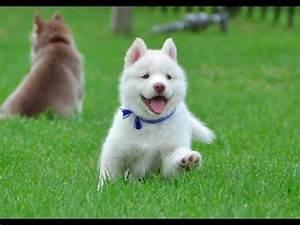 Cutest White Husky Puppy! Must Watch! - YouTube