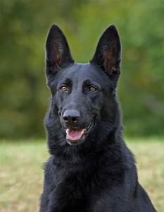 Black German Shepherd Dog by Sandy Keeton