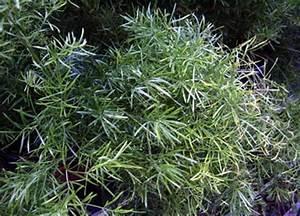 Bambus Pflege Zimmerpflanze : ben tige hilfe bei pflanzenbestimmung garten pflanzen bestimmung ~ Frokenaadalensverden.com Haus und Dekorationen