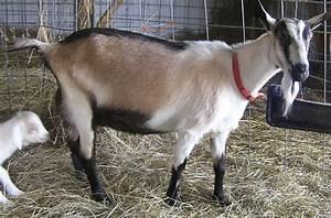 French-Alpine - Livestockpedia