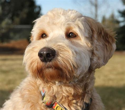 goldendoodle goldendoodle haircuts and labradoodles