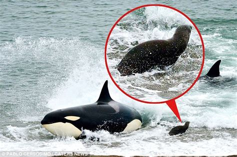 Orcas Attacking Humans