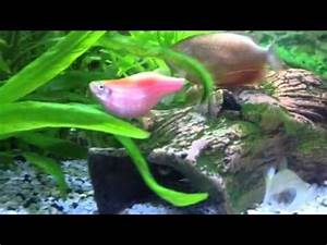 My pregnant fish - YouTube