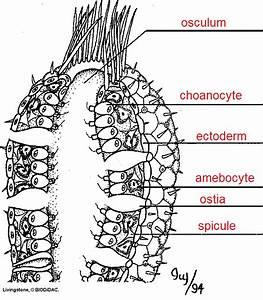 sponge anatomy diagram answer key imageresizertoolcom With hydra diagram