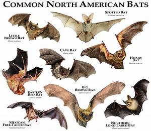 Common Bats Of North America