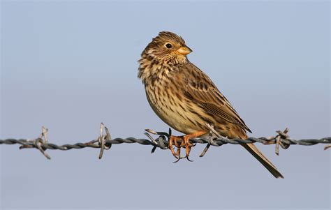 corn bunting in cornwall conservation project the rspb