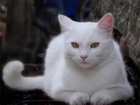 white cat pixdaus
