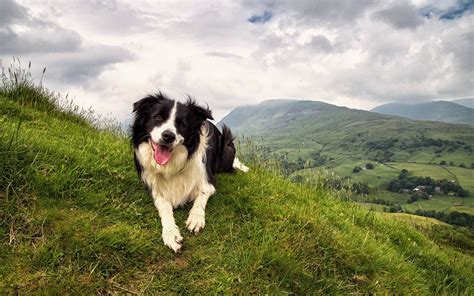 Happy, Border, Collie, Dog, Animal, Full, Screen