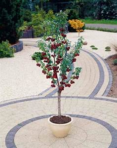 Planter Un Cerisier : le cerisier en pot les conseils pour votre jardin de ~ Melissatoandfro.com Idées de Décoration