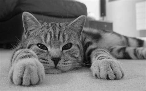 hd lazy cat wallpaper