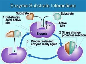 Ppt - Protein Structure And Enzyme Function Powerpoint Presentation