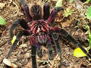 Purple Bloom Bird-Eating spider, apparently. Yanked from ...