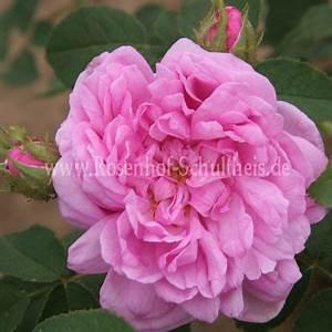 Rosen Düngen Im Frühjahr : salet rosen online kaufen im rosenhof schultheis rosen online kaufen im rosenhof schultheis ~ Orissabook.com Haus und Dekorationen