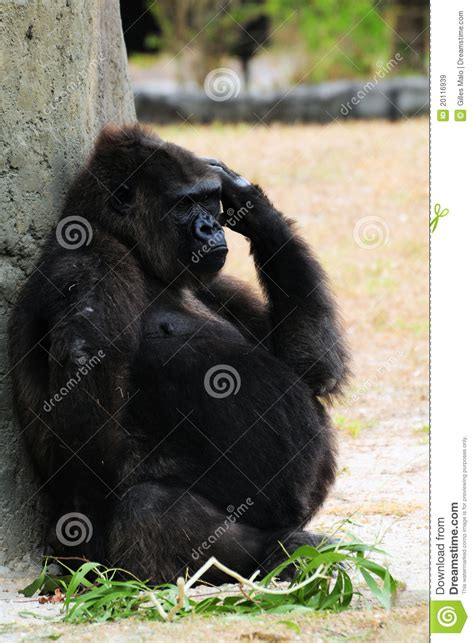 pregnant gorilla royalty  stock images image