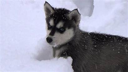Huskies Wallpapers Husky Schnee Im Wallpaperplay
