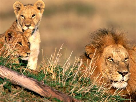 Wild Life African Animals African Lions
