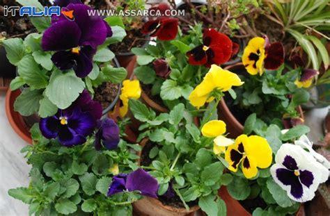 inositolo supremo panze fiori 28 images panse o violetta pensiero fiori