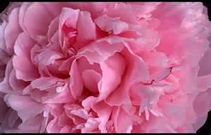 Light Pink Peonies Flowers
