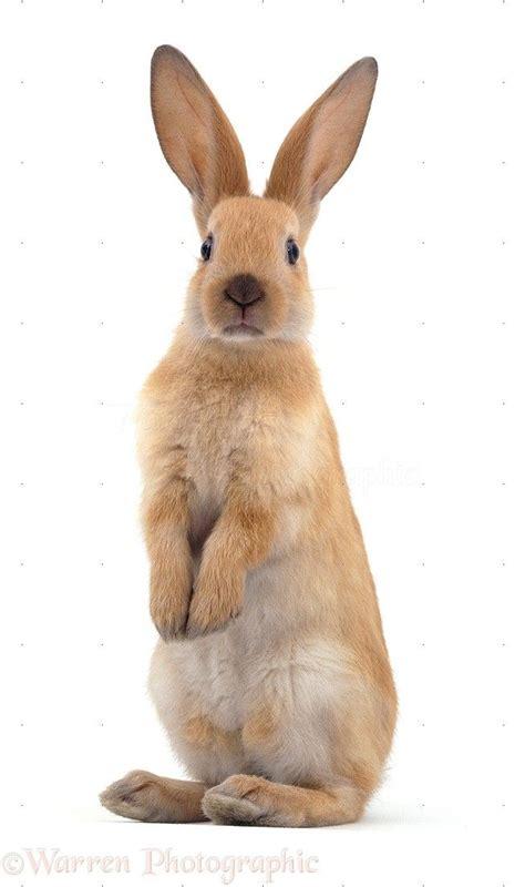 rabbit images  pinterest rabbits bunnies