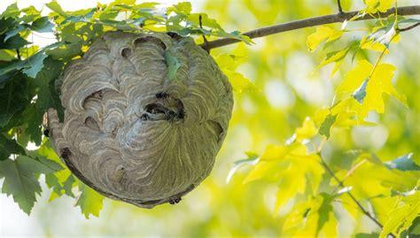 was hilft gegen wespennest test die wespennest attrappe hilft tats 228 chlich gegen wespen business insider deutschland