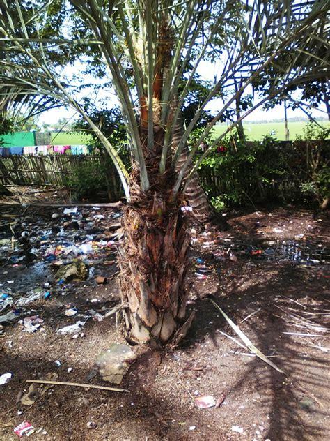 harga jual pohon palm kurma berbuah lebat  murah