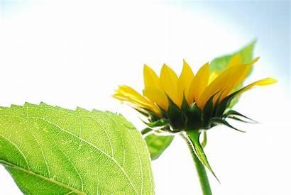 Sunflower Single Leaves Clipart Panda Clip Close