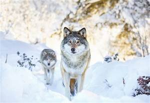 Where Do Wolves Live, You Wonder? Here's the Reality