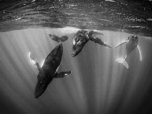 Humpback Whales Picture, Tahiti Wallpaper - National ...