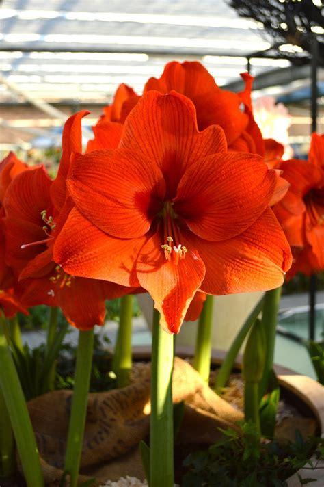 jumbo amaryllis orange desire dutchgrown