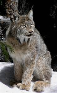 cat colorado lynx on top 10 list of species hit hardest by climate