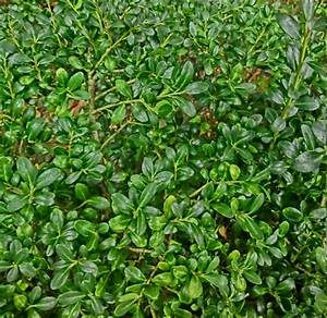 Ilex Crenata Krankheiten : ilex crenata convexa kopen bij tuincentrum online tuincentrum ~ Orissabook.com Haus und Dekorationen